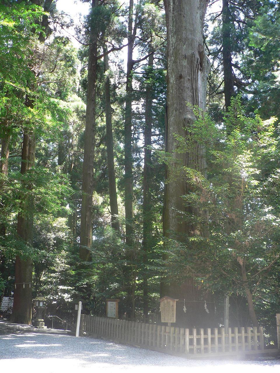 神社の御神木